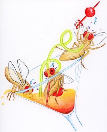 A drawing of three fruit flies sitting in and drinking from a martini glass.