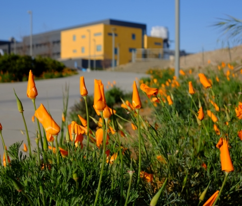 Poppies in bloom on campus